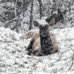 Grandfather Mountain selects elk names and contest winner