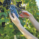 Surry CC offering viticulture workshop in January